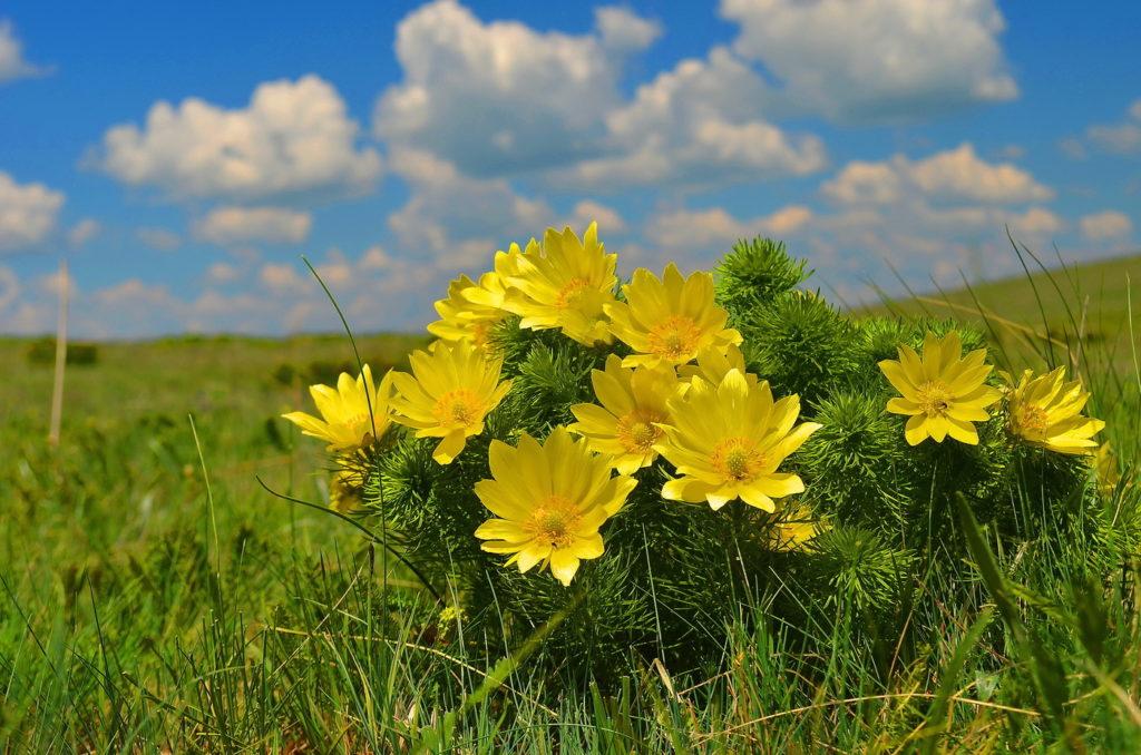 горицвет весенний фото