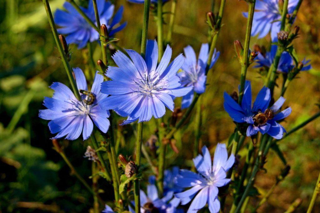 цикорий фото цветка