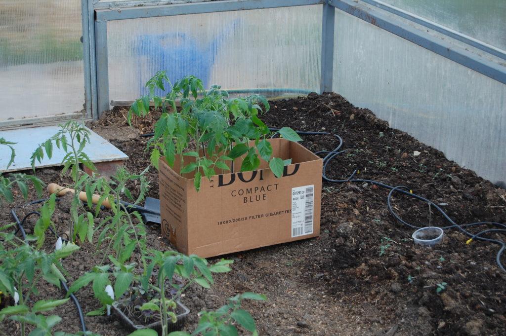 пересадка рассады томатов в теплицу май 2020