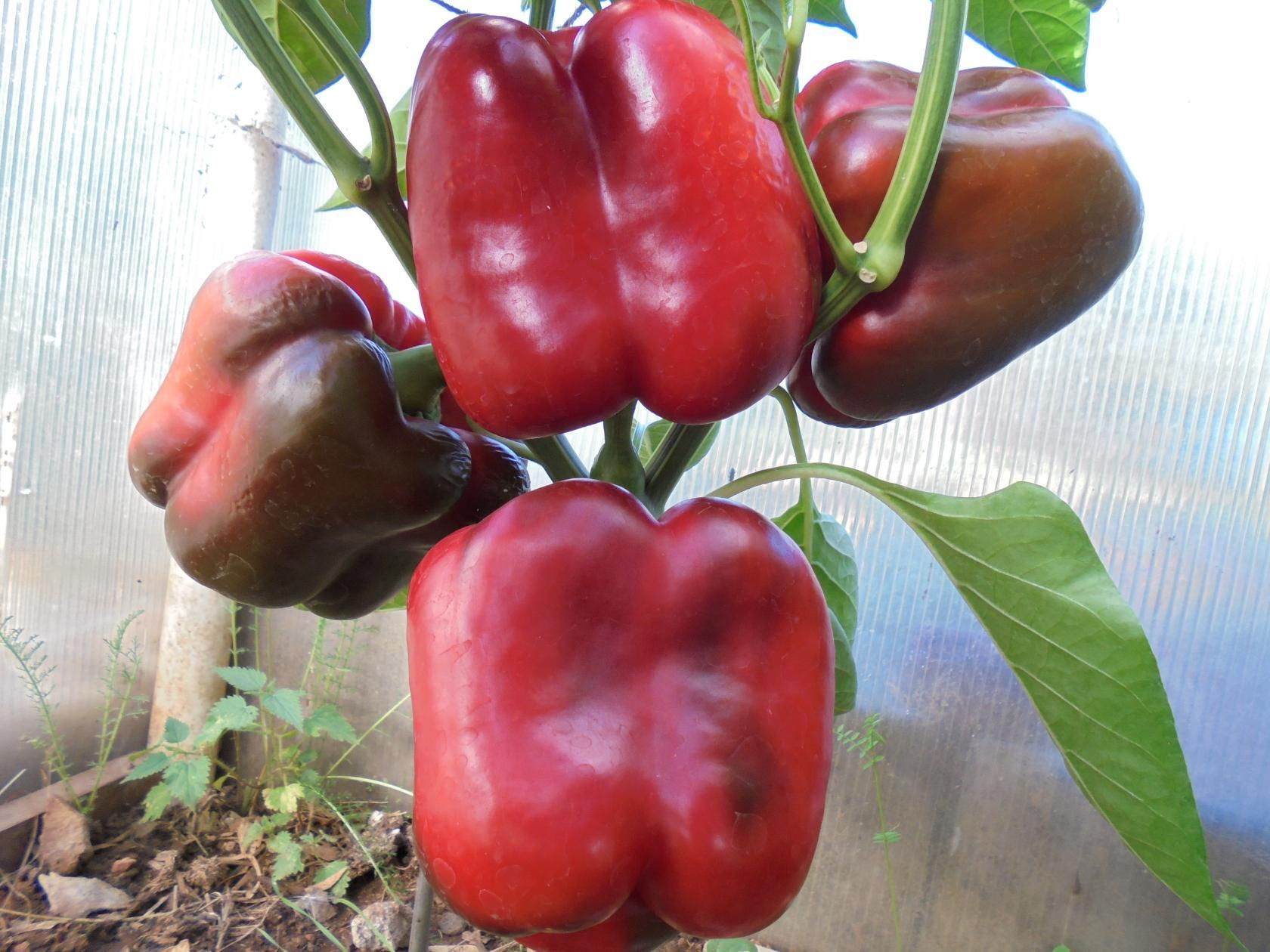 урожайность перца в теплице