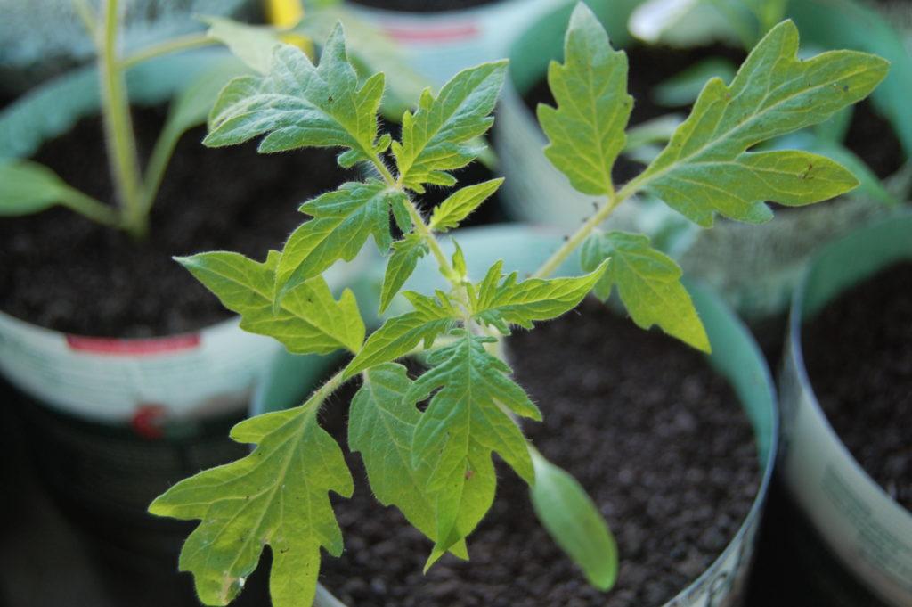когда посадить семена томатов на рассаду в марте 2020