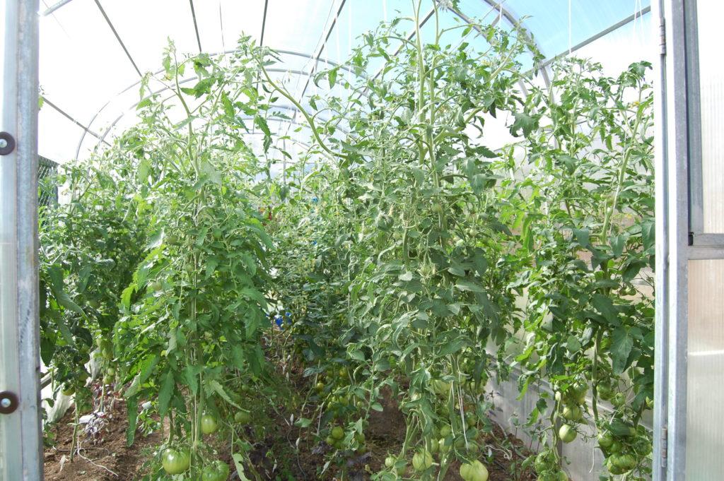подкормка помидоров в теплице во время плодоношения