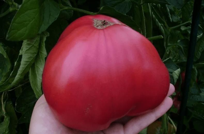 Томат Розовый мёд: Описание характеристики, достоинств и агротехники возделывания крупноплодного, розового томата
