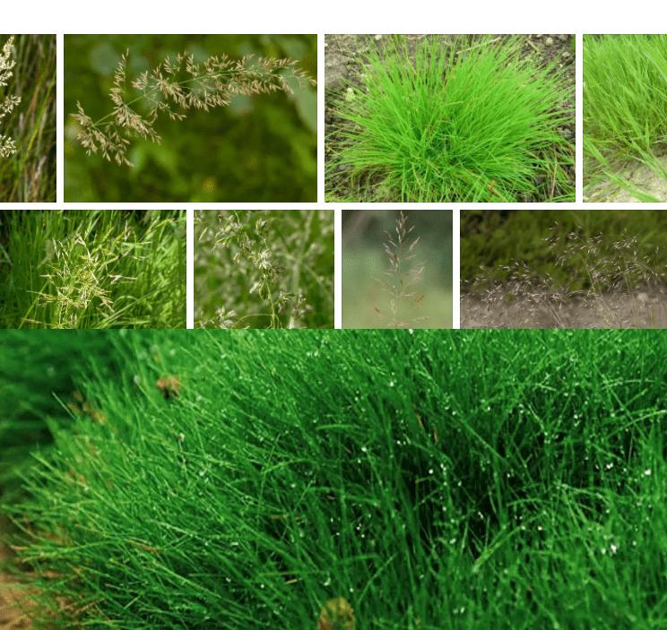 Газон для приусадебного участка: лучшие сорта трав